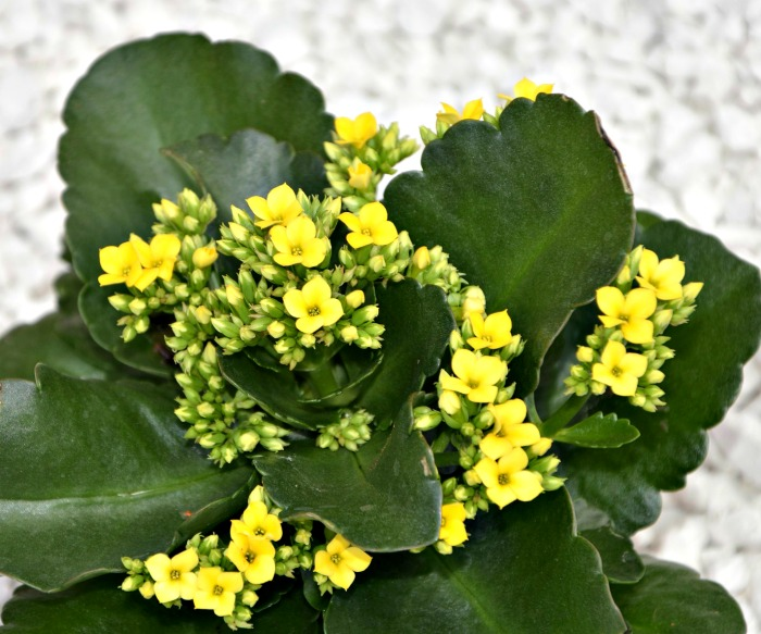 Yellow florist kalanchoe in flower